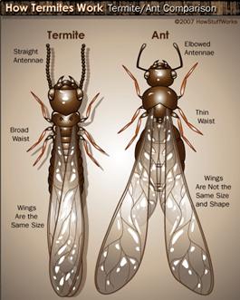 termites-vs-ants